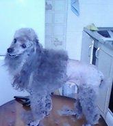 фотография Стрижка крупных собак
