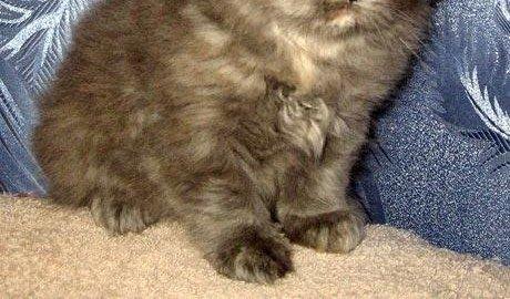 Подать объявление продаже персидских котят в петрозаводске программы для автоматичесского размещения объявлений на бесплатных досках