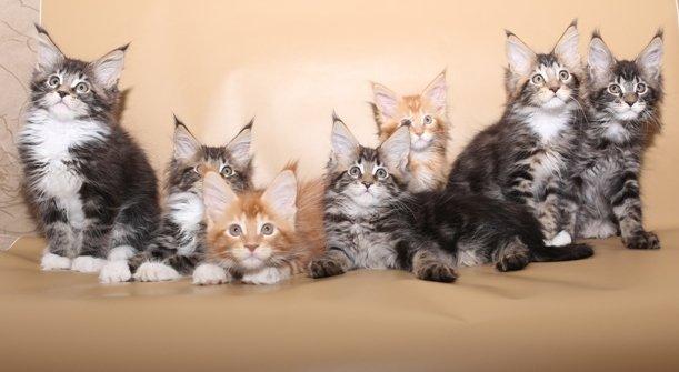 фотография Питомник кошек мейн-кун Mc-cats на улице Брусилова, 17